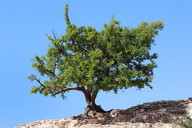 Argan tree (Argania spinosa) against clear blue sky. stock photo
