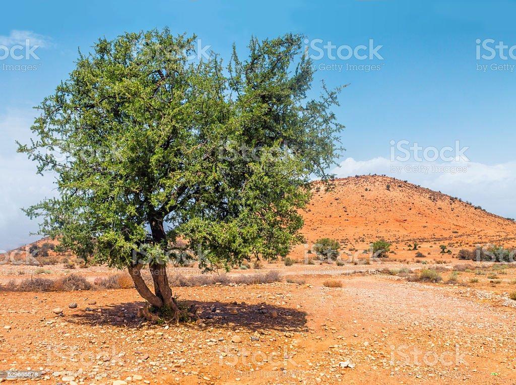 Argan tree in the sun, Morocco stok fotoğrafı