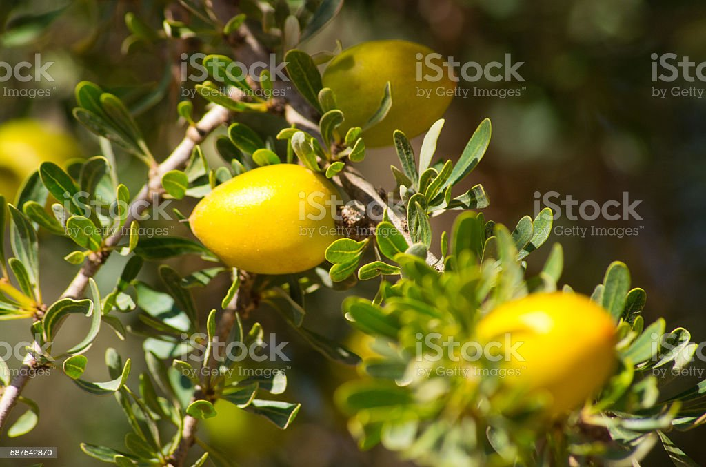 Argan tree with yellow fruits stock photo