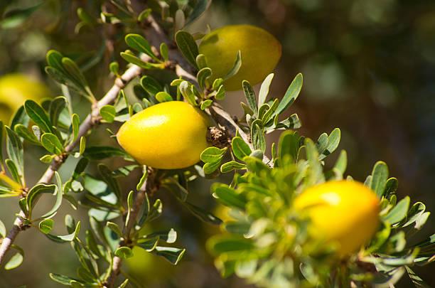 Argan tree with yellow fruits stok fotoğrafı