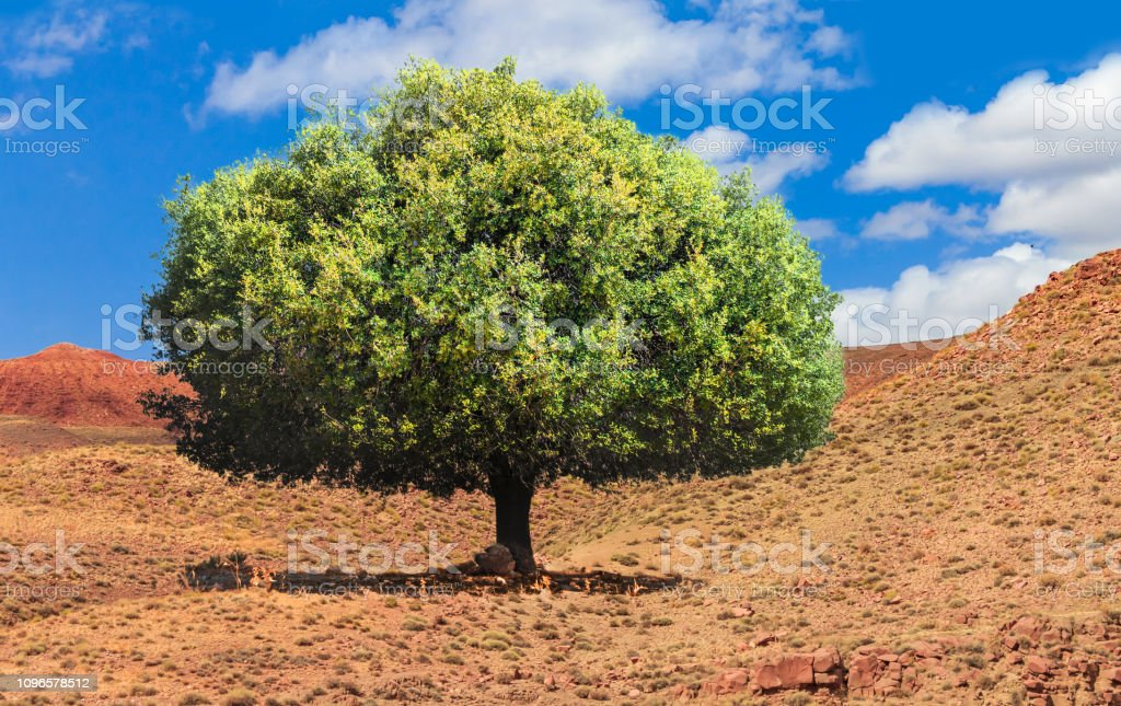 Argan trees grow up in the middle of the desolating valley in...