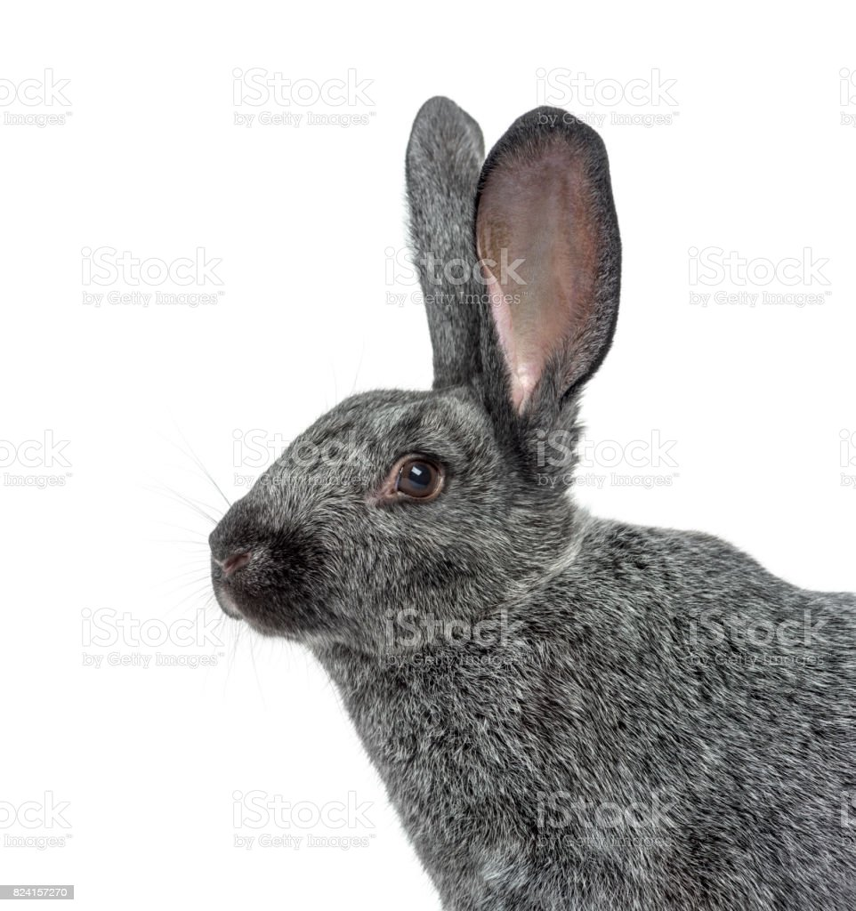 Argente rabbit isolated on white stock photo