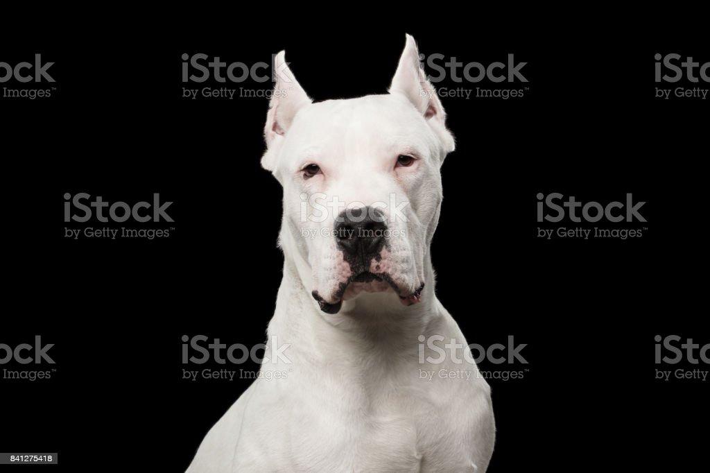 Retrato de dogo argentino - foto de stock