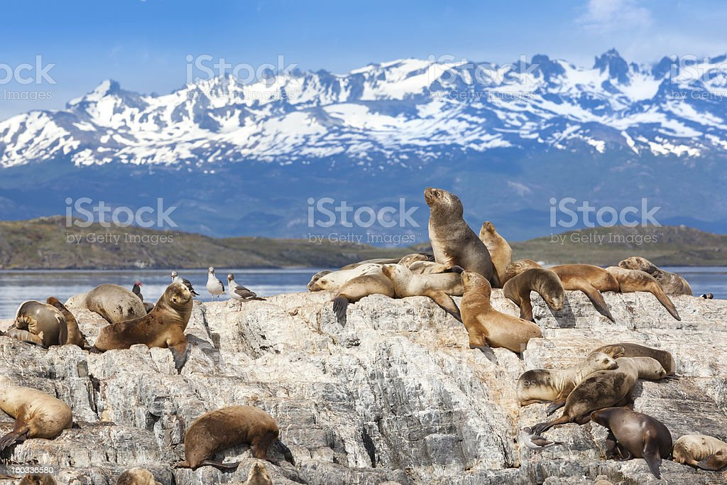 Argentina Ushuaia sea lions on island at Beagle Channel stock photo