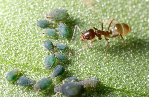 Argentine ant (Linepithema humile) tending Cotton Aphids (Aphis gossypii) A reddish-brown ant farming dark green aphids on the surface of a leaf aphid stock pictures, royalty-free photos & images