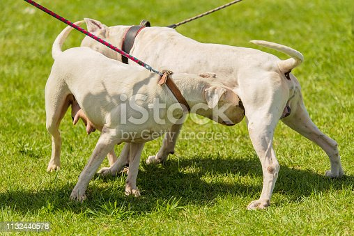 Two argentine dogs get acquainted in the park