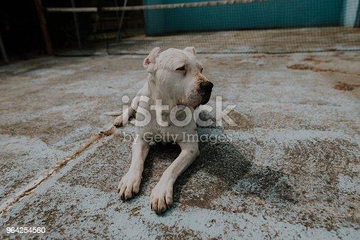 Argentinian Dogo dog breed