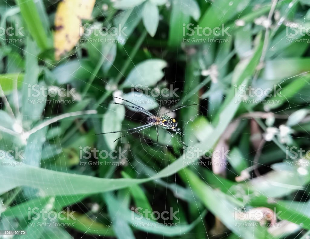 Argiope bruennichi, uma vespa aranha com corpo amarelo e verde - foto de acervo