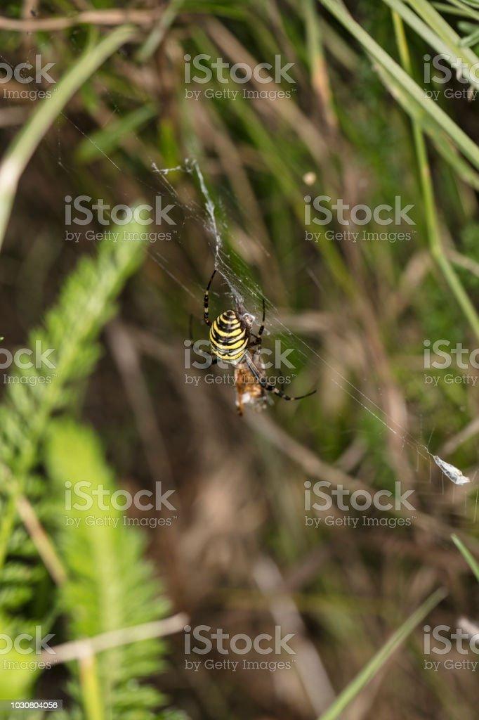 Argiope Bruennichi, aranha perigosa, pega comida - foto de acervo