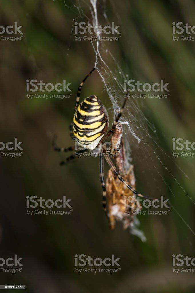 Argiope Bruennichi, aranha perigosa, comida na web - foto de acervo