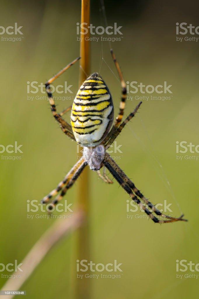 Argiope Bruennichi, perigosa aranha na web - foto de acervo