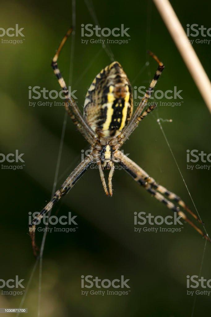Argiope Bruennichi, aranha frome atrás - foto de acervo