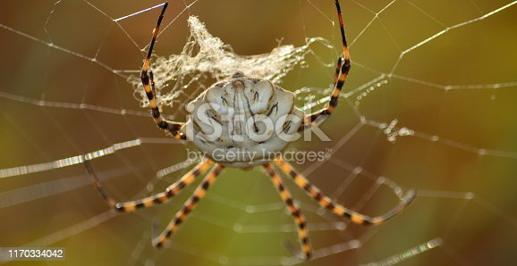 Argiope lobata in foreground, large spider on the cobweb