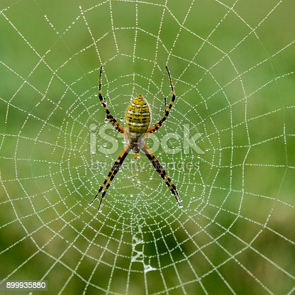A female argiope spider rests in the middle of her dew covered web. Other names for this spider are yellow garden spider,orb weaving spider,golden garden spider, and corn spider.