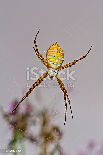 Argiope trifasciata  known as the banded garden spider in Santa Rosa, California on a web.