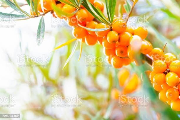 Photo of Argousier, berries.