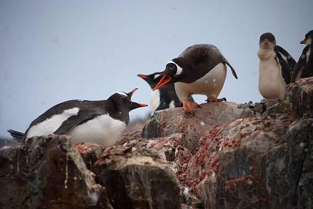 Streiten penguins – Foto