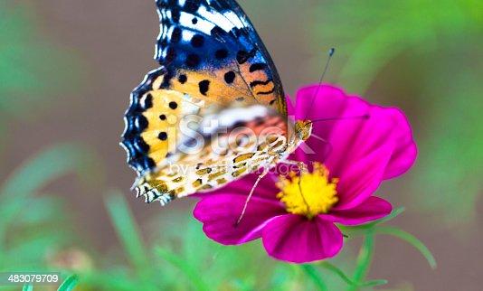 istock Argynnis hyperbius butterfly on a field of cosmos flower, Japan 483079709