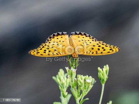 istock Argynnis hyperbius Indian fritillary butterfly flowers 2 1183726282
