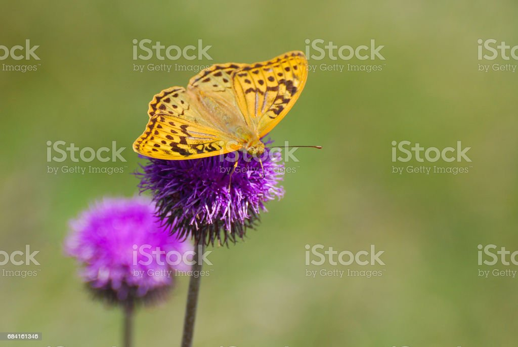 Argynnis pandora - Cardinal cloak butterfly on a flower in meadow. royalty-free stock photo