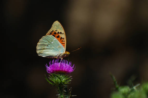Argynnis pandora cardinal cloak butterfly on a flower in meadow picture id684161352?b=1&k=6&m=684161352&s=612x612&w=0&h=pmqjtqoebba6f06yuhwjypxs6lmetog4q1ez5dhptv0=