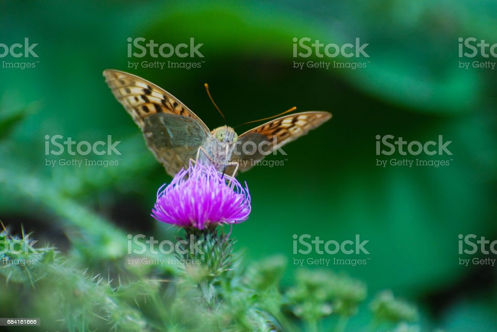 Argynnis pandora - Cardinal cloak butterfly on a flower in meadow. royalty-free stock photo