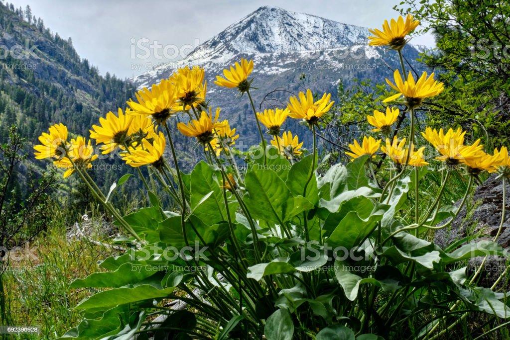 Arinca in alpine meadows. stock photo