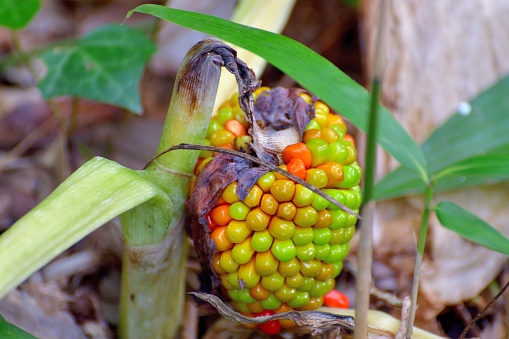 Arisaema ringens / Copra Lilly: Flower and Fruit