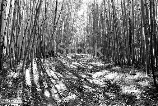 Arizona high country aspen tree grove with trail in San Francisco Peaks Natural Area near Flagstaff Arizona USA.  Area is close to many National Parks and Wilderness Areas.  But it is less travelled in my experience.  Solitude can be found.  Image is in black and white film.