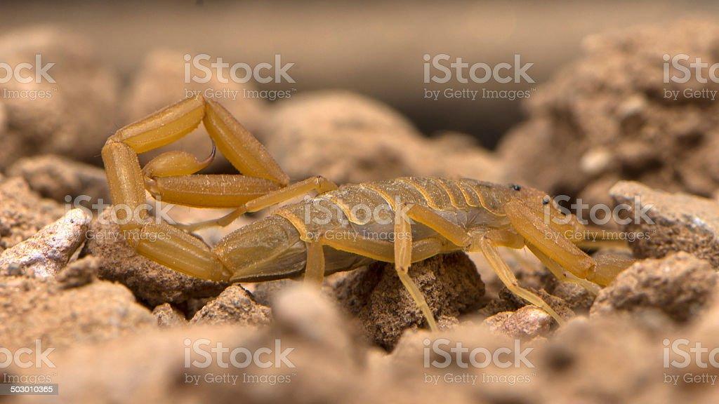 Arizona Bark Scorpion Crawling stock photo