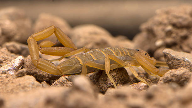 arizona bark scorpion crawling - scorpion stock photos and pictures