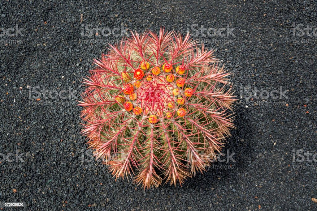 Arizona barrel cactus (Ferocactus wislizeni) with orange flowers, black lava soil background in Lanzarote stock photo