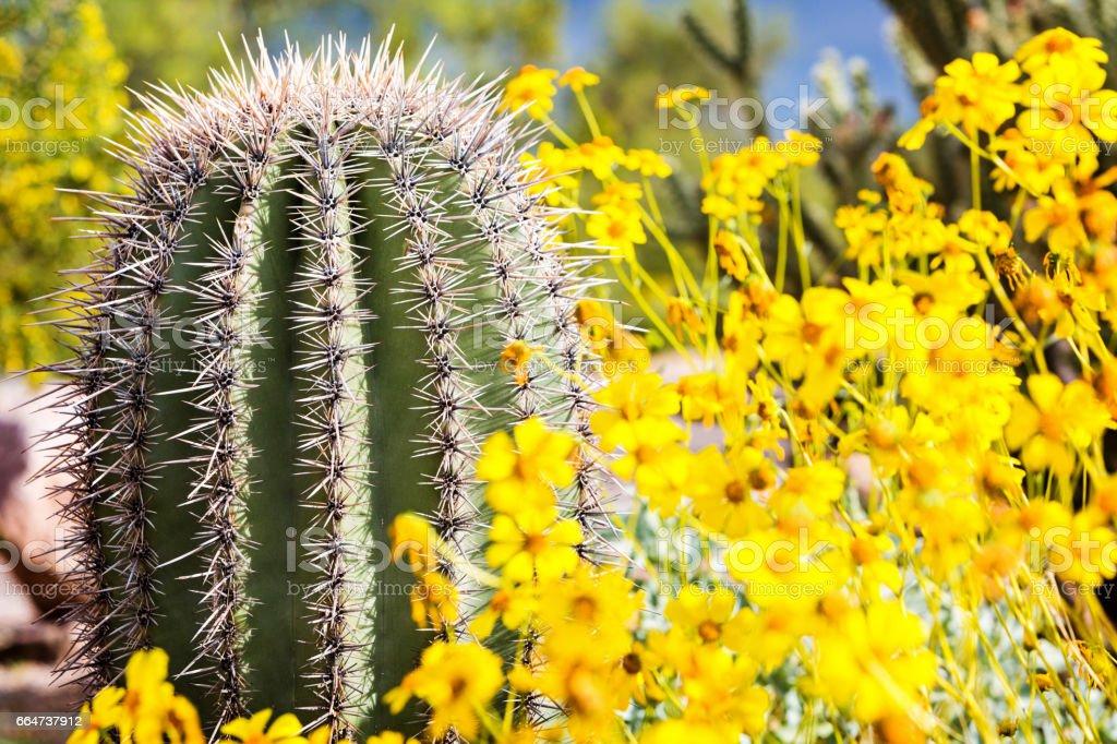 Arizona Barrel Cactus with Wildflowers stock photo