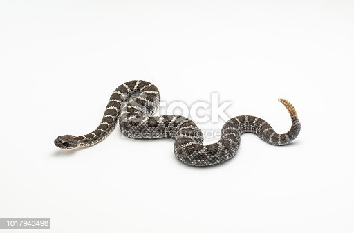 Arizona Black Rattlesnake on White Studio Background Isolated