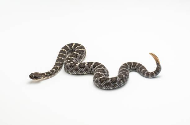 arizona crotale de noir sur blanc fond crotalus cerberus - serpent photos et images de collection