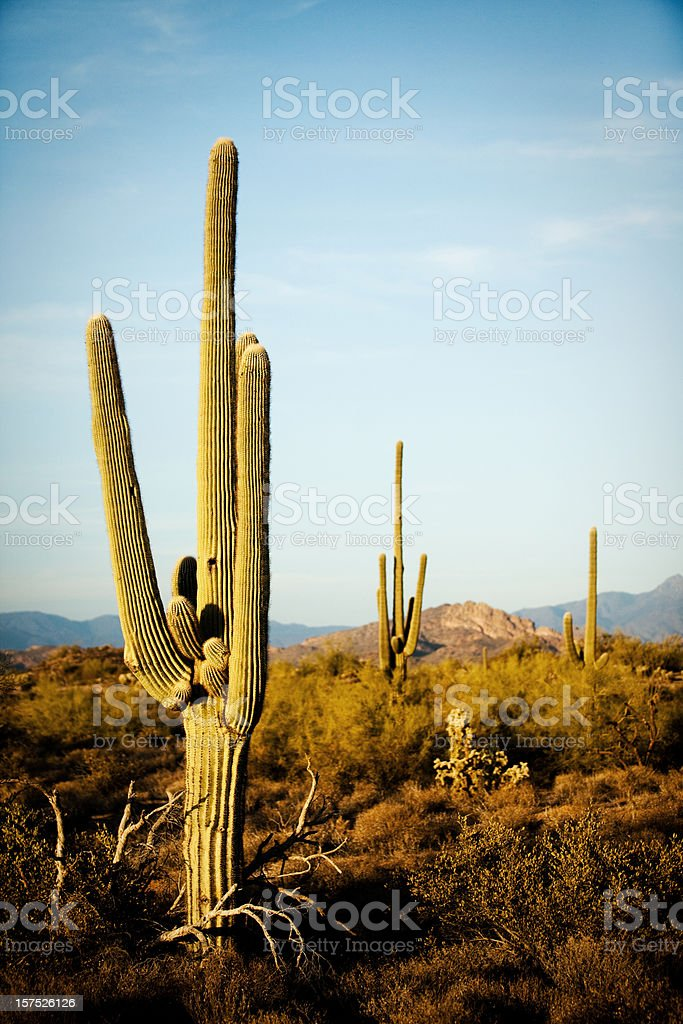 Arizona Desert Cactus Sagauro royalty-free stock photo