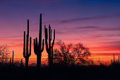 A stand of sagauro cacti silhouetted against a fiery sky in Saguaro National Park, Arizona