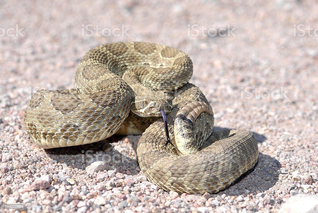 Arizona Mojave Rattlesnake stock photo