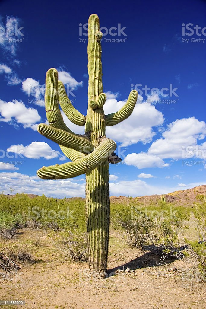 Arizona Saguaro Cactus royalty-free stock photo