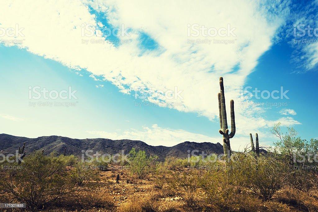 Arizona saguaro cactus royalty-free stock photo