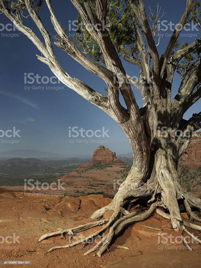 USA, Arizona, Sedona, Tree at dusk, close-up royalty-free stock photo