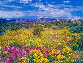 Spring wildflowers carpet the desert floor in Organ Pipe Cactus National Monument of Arizona