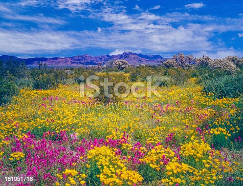 Spring wildflowers carpet the desert floor in Organ Pipe Cactus National Monument of Arizona