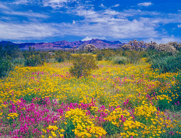 Arizona spring wildflowers Spring wildflowers carpet the desert floor in Organ Pipe Cactus National Monument of Arizona tucson stock pictures, royalty-free photos & images