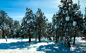 Arizona: Sunny Snowy Pine Trees in Tonto National Forest