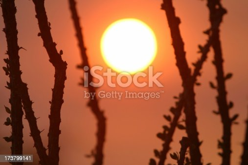 Sunset through ocotillo tree