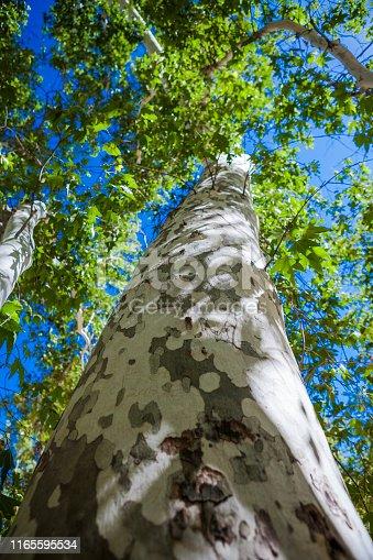 Low angle Arizona Sycamore tree canopy.
