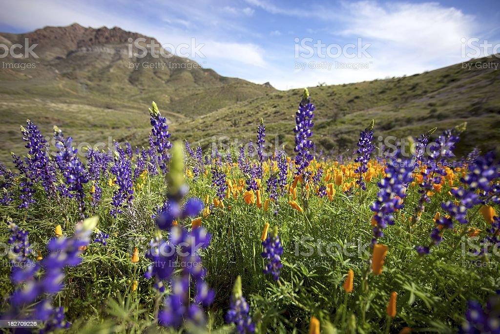 Arizona Wildflowers in the spring royalty-free stock photo