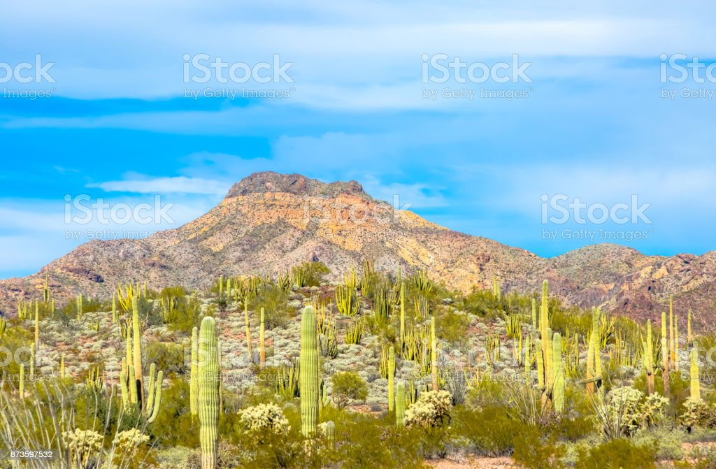 Arizona's Organ Pipe Cactus National Monument - Thriving Cacti in Arid Conditions in the Sonoran Desert stock photo