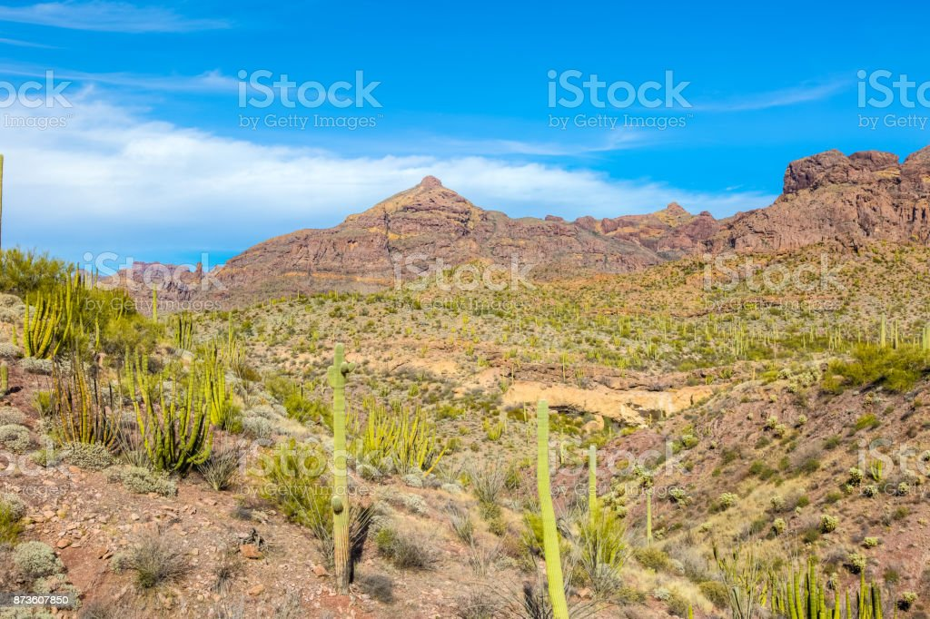 Arizona's Organ Pipe Cactus National Monument - Thriving Cacti in Arid Conditions under Brilliant Sky in the Sonoran Desert stock photo
